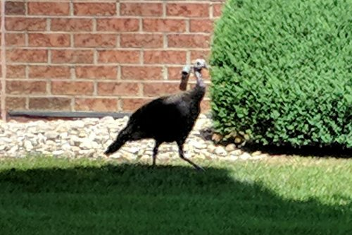 There are three more months till Thanksgiving, so this wild turkey must have thought it was safe enough for the time being!  It was spied at the Findlay building just strutting around in front of the resident apartments on August 23rd.