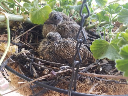 These adorable baby mourning doves recently hatched in one of our hanging baskets. They grew quickly and left the nest on August 22nd.
