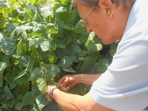 Mike harvests his bumper crop of green beans.