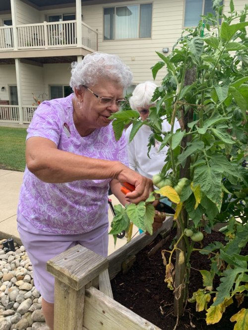 Garden Club member Mary is working on the tomato plants.