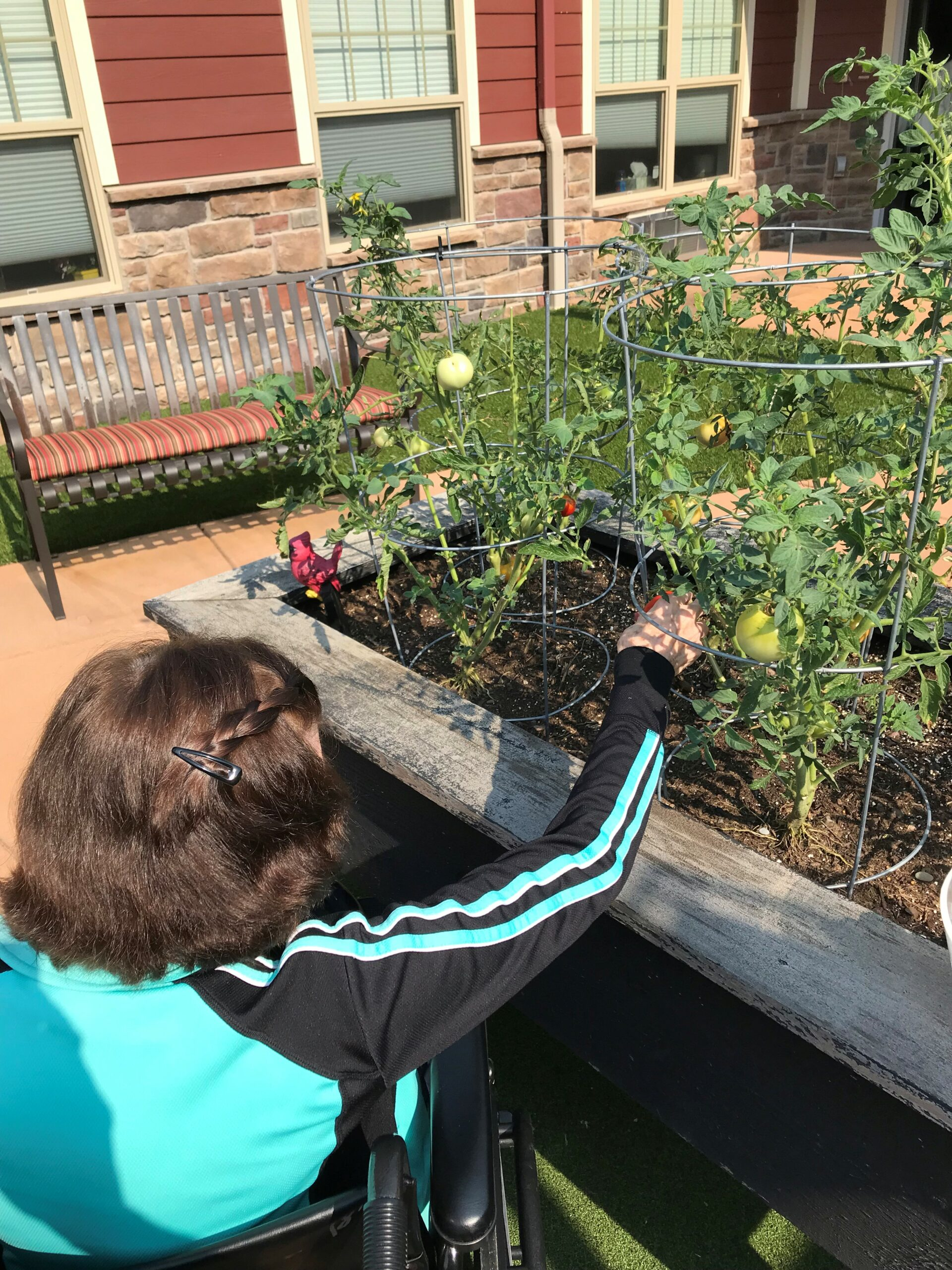 Mary picking tomatoes from the the Memory Care Garden