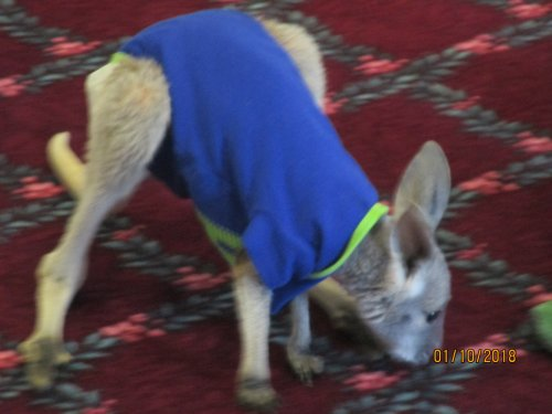 Our favorite kangaroo brought his friend the chinchilla to visit our residents.