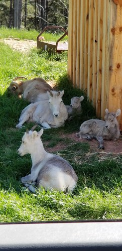Mountain goats and their babies cooling in the shade.