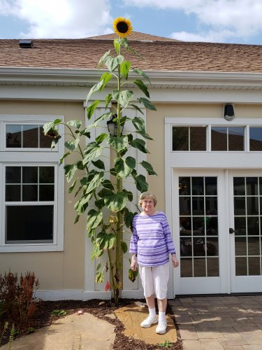 Jane planted this sunflower from seed which grew more than 14 feet tall!!!